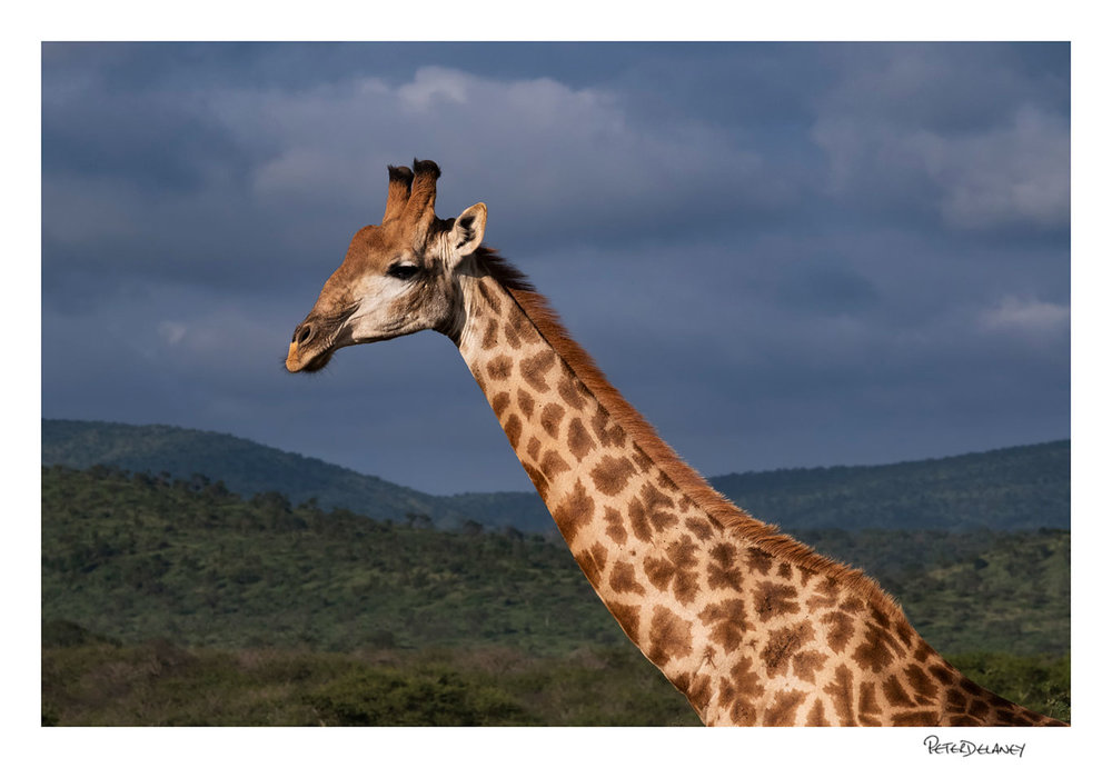 Giraffe and Clouds