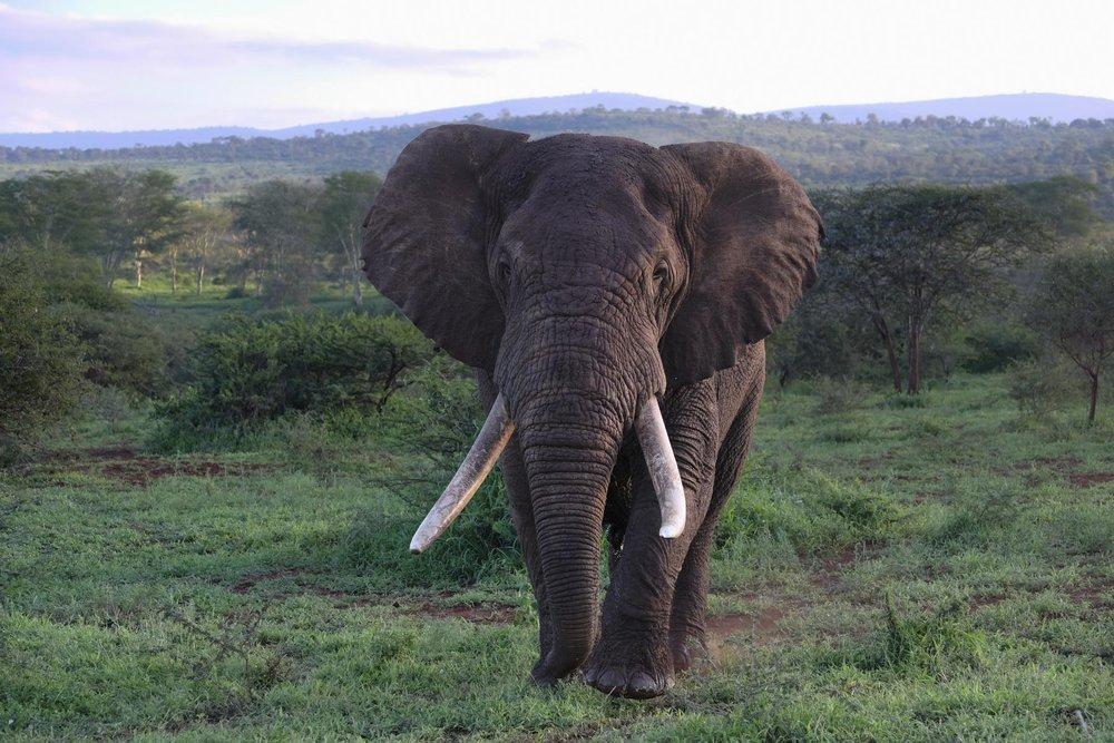 Bull Elephant Tusker