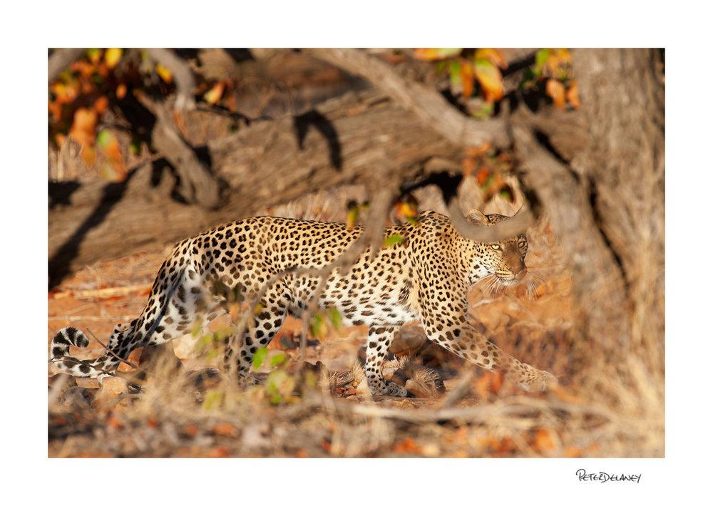 Leopard in Autumn Colours