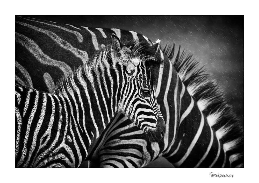 Zebra foal and mother.jpg
