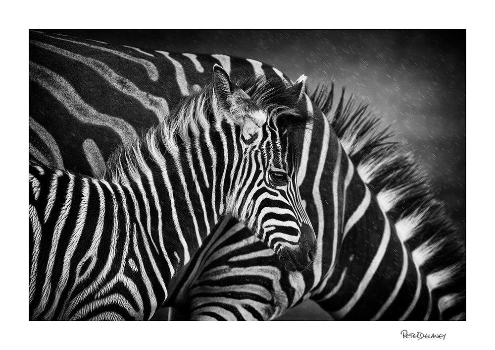 Zebra foal and mother.jpg