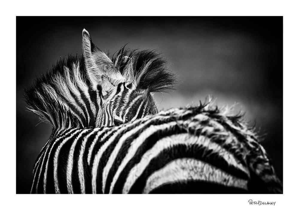 Zebra Foal Fine Art Print