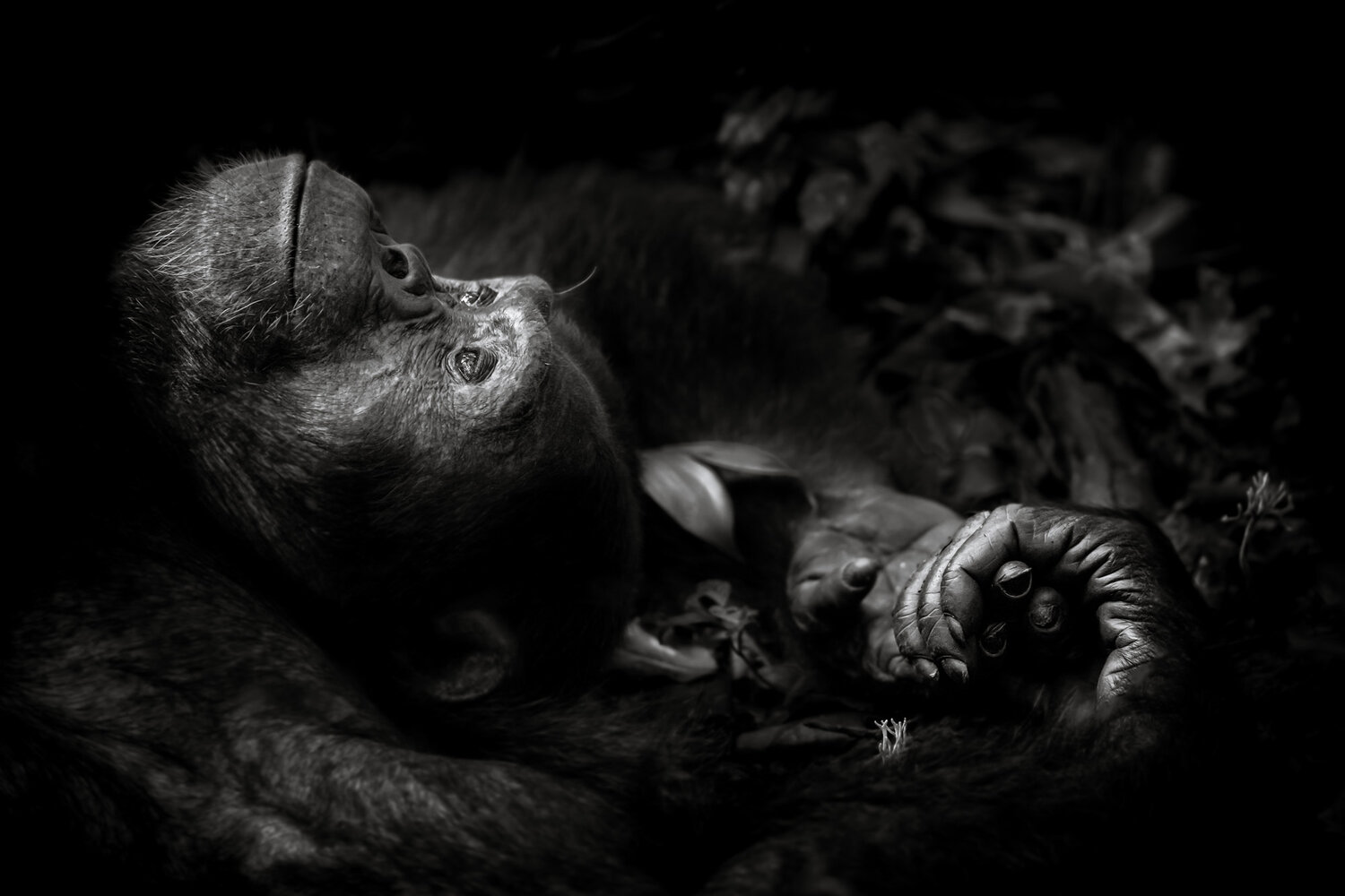 Contemplation chimpanzee wildlife art prints