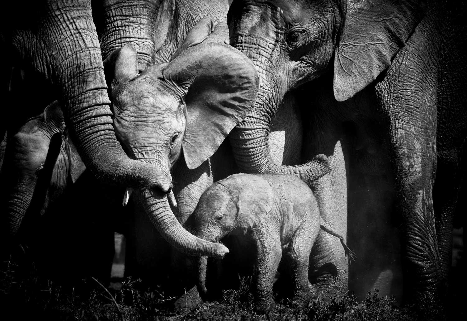 Bonds of love elephant herd best bamp