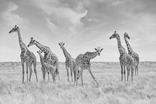 Giraffe pictures african wildlife photos sale art prints