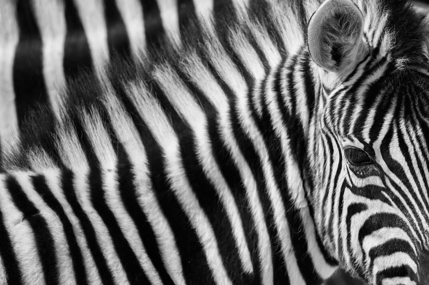 Zebra stripes black and white fine art