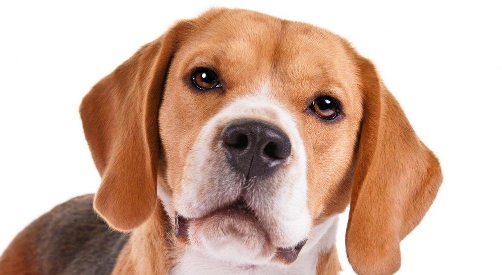 Real Beagle!