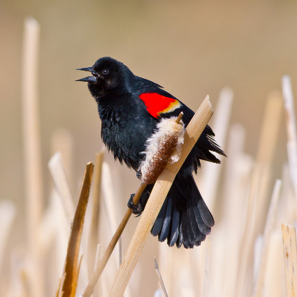 Red-winged_Blackbird_singing425.jpg