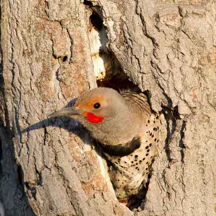 Northern_Flicker_at_nest425.jpg