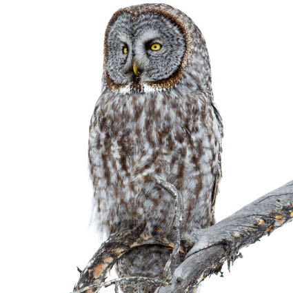 Great_Gray_Owl425.jpg