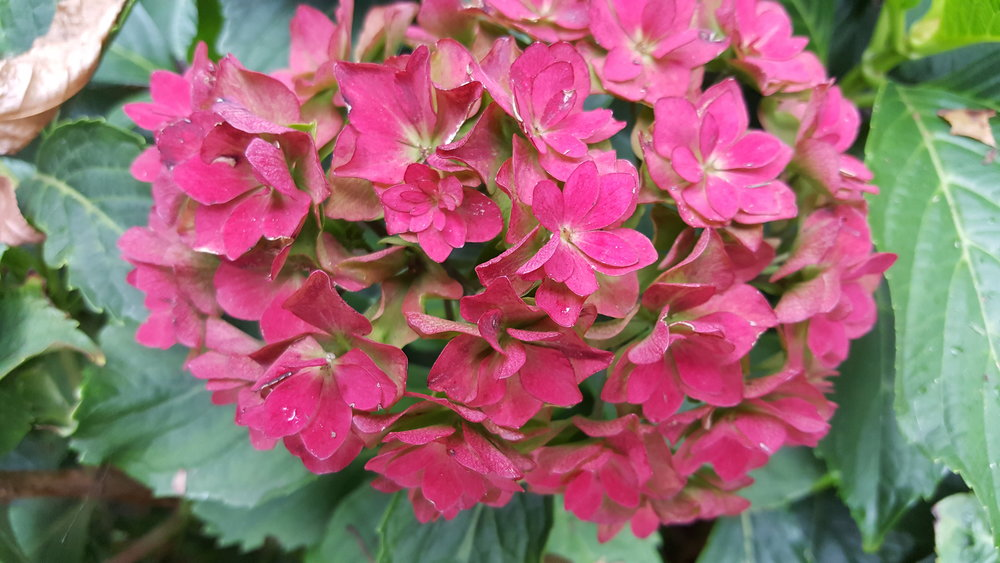 Pink is my favorite color.. and I love Hydrangeas!