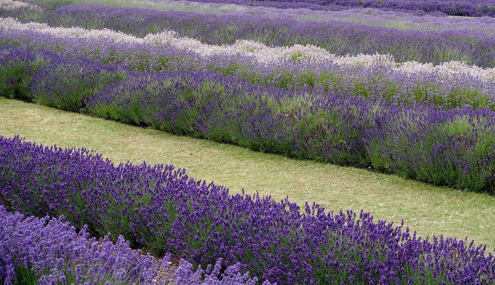 Snowshill Lavender Farm