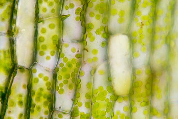 algae.png