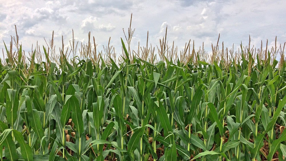 Edmonton Doula Corn Maze Prairie Gardens