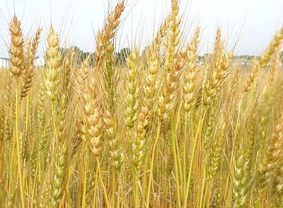 Barley & Wheat. (Image from Google)