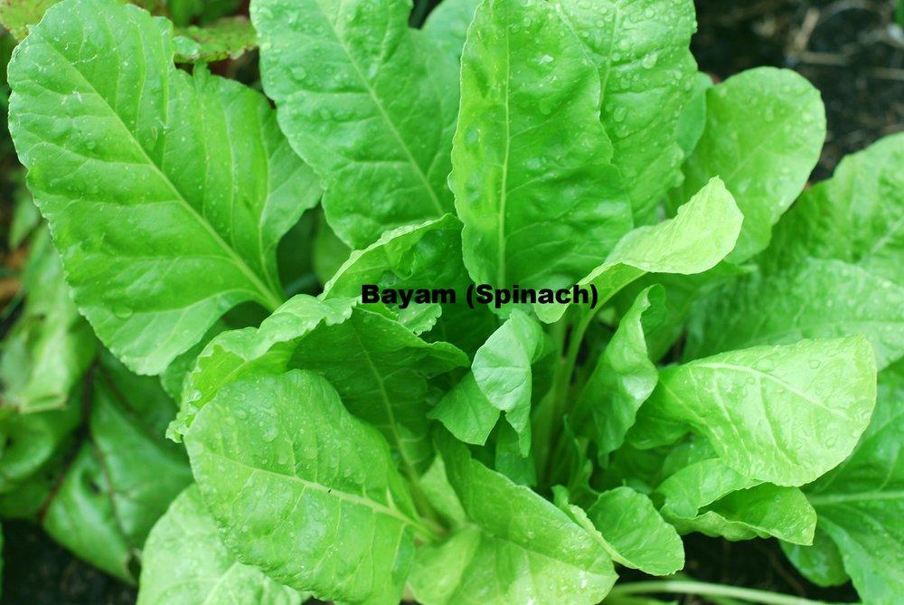 Organically grown spinach. By Robert Lynch. [CC0 1.0]. Via publicdomainpictures.net.