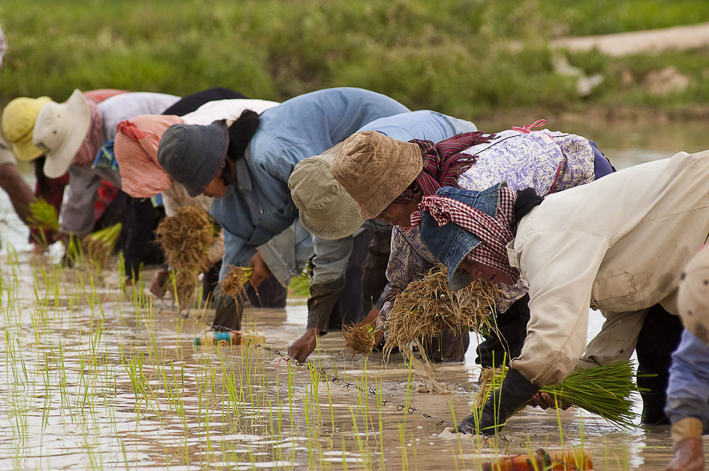 Cambodian farmers planting rice. 2004. By Brad Collis. [CC BY 2.0]. Via Wikimedia Commons.