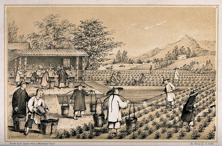 Fae,  A Chinese tea plantation with workers watering, picking and firing the tea.  (31 October 2014). CC BY 4.0.  Alt Text: Photo of a lithograph of a Chinese tea plantation with workers watering, picking, and firing tea that they harvest.