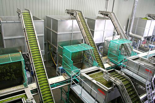 olive oil pressing