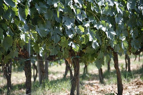 grape vines www.talkoftomatoes.com