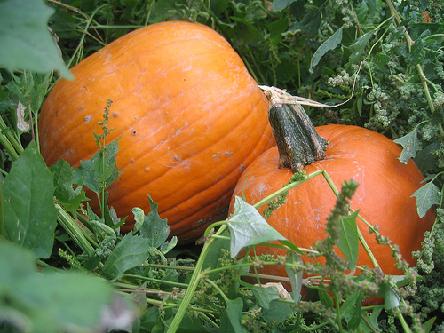 pumpkins on vine | talkoftomatoes.com