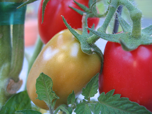 roma tomatoes on vine