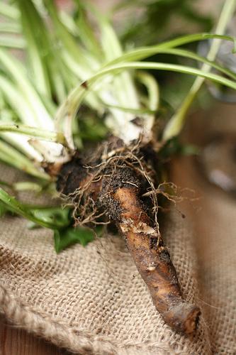 danelion roots