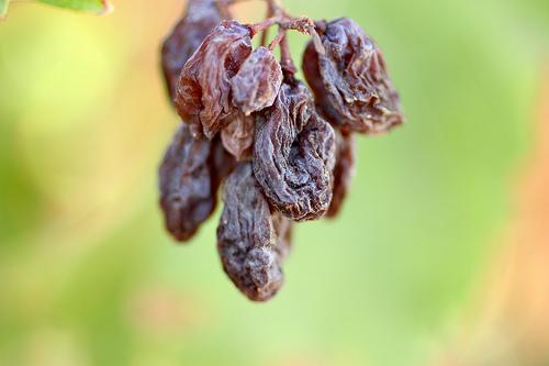raisin cluster