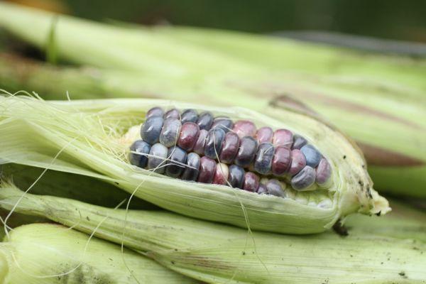 purple corn @talkoftomatoes