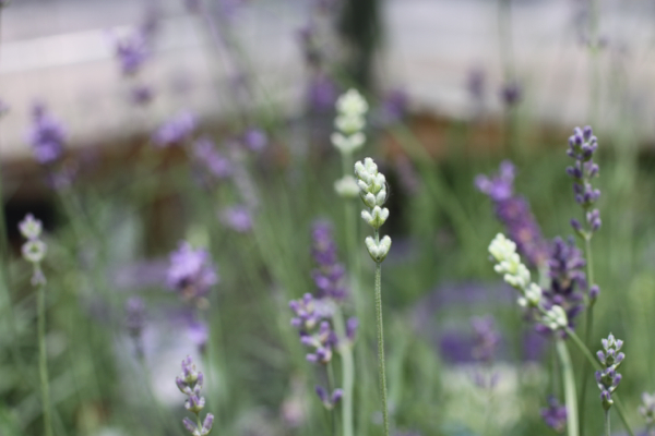 lavender farms @talkoftomatoes - 10