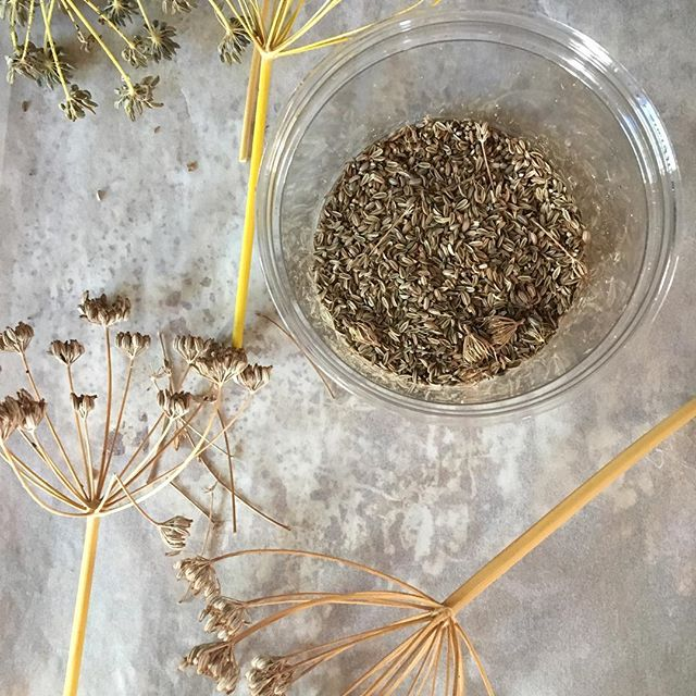 Harvesting #fennelseeds for a year of teas and Italian sausage / pizza / spaghetti sauce #nomnomnom #homesteading #diyfood #gardening #urbanfarming
