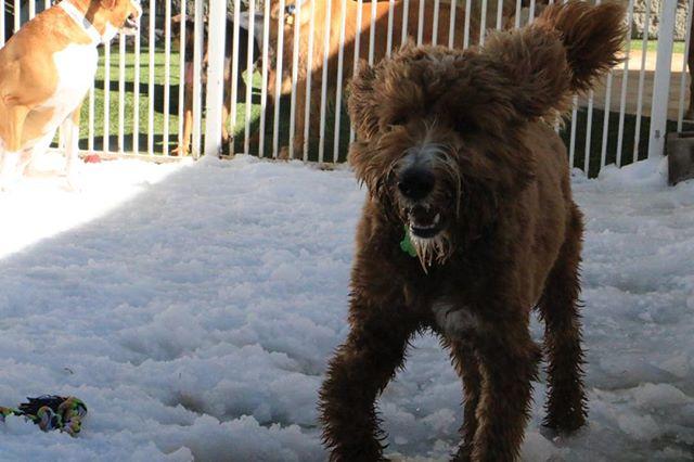 Max! #snowinaugust #nationaldogday