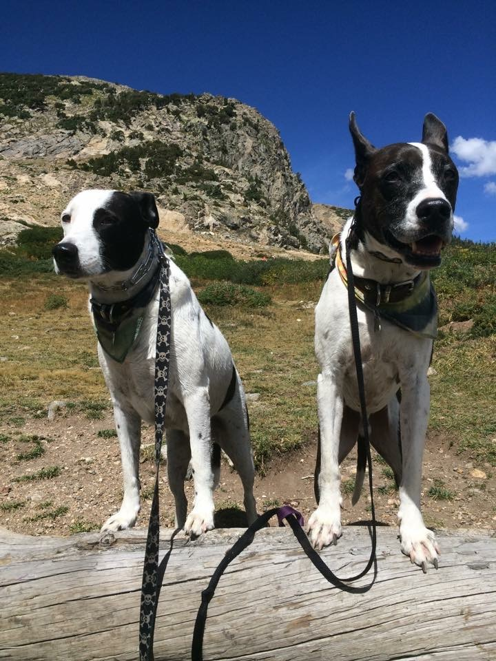 T and J-Roc enjoying an adventure, sporting prong and remote collars.
