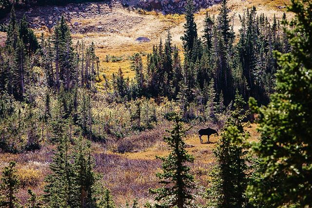 Moose in a valley. Always a treat to see a critter, large or small. #denverphotographer #dnvrcolorado #coloradotography #coloradocreative #coloradooutdoors #coloradolife #mountainlife #getoutside #indianpeakswilderness #americanadventurist #adventuristlife