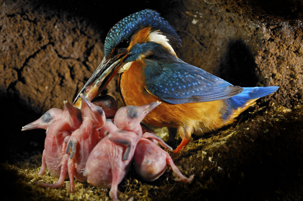 kingfisher with chicks.jpg