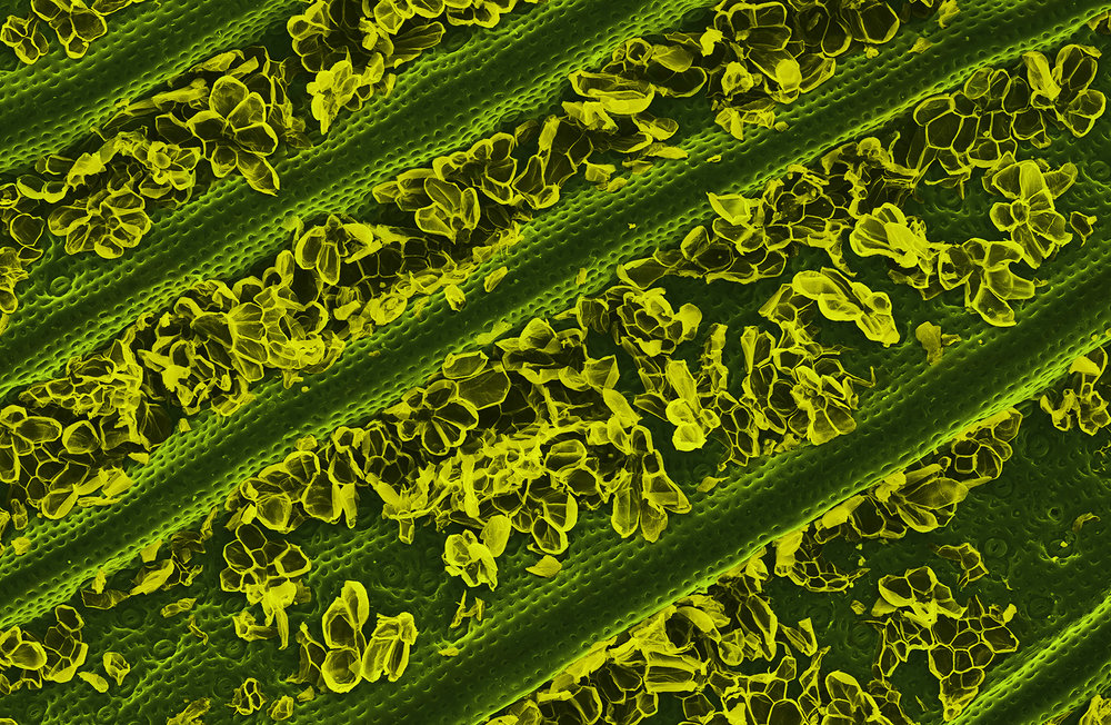 terra cibus no.33: pineapple leaf  85x magnification
