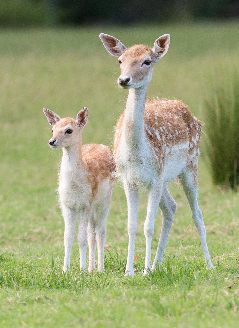 european fallow deer mogo zoo