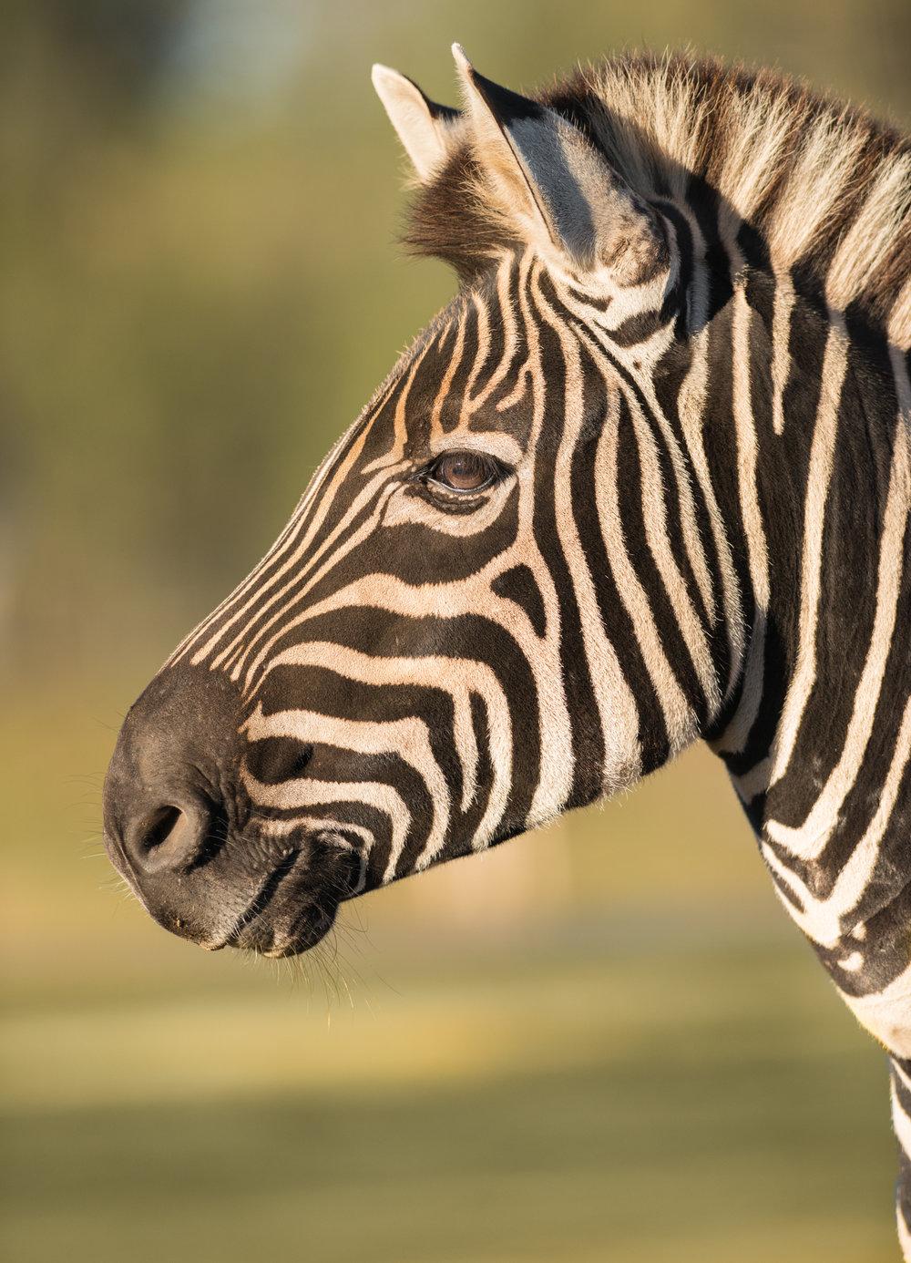 plains zebra mogo zoo