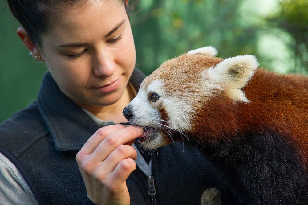 Pat a Red Panda