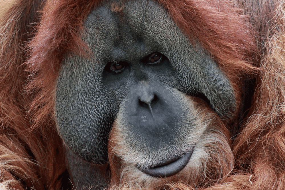 Meet Jantan, one of our new Orangutans