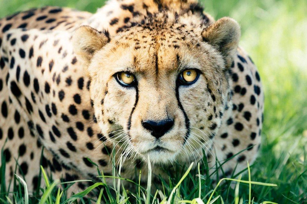 Cheetah_Pauline_Zoom.jpg