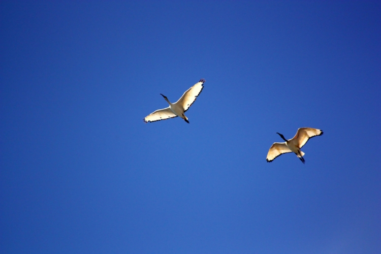 bird-birds-ibis-flight-55817.jpg