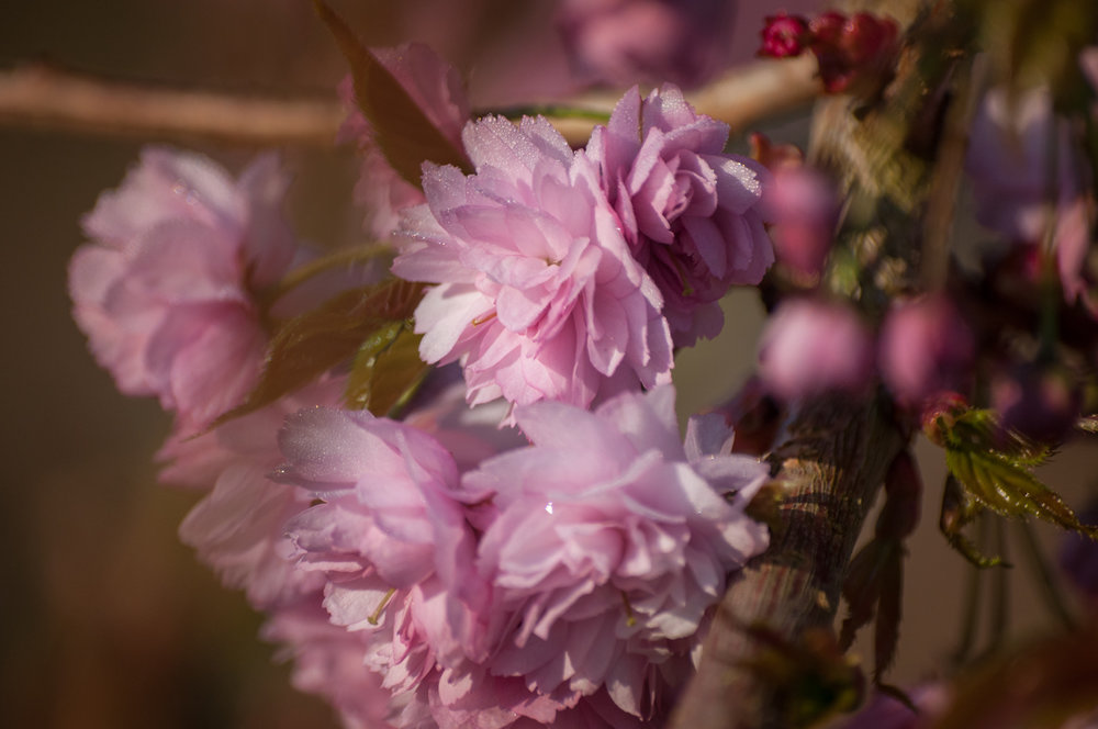 cerisier à fleurs-5.jpg