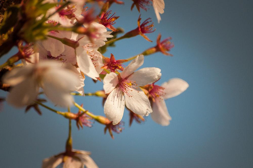 cerisier à fleurs-7.jpg