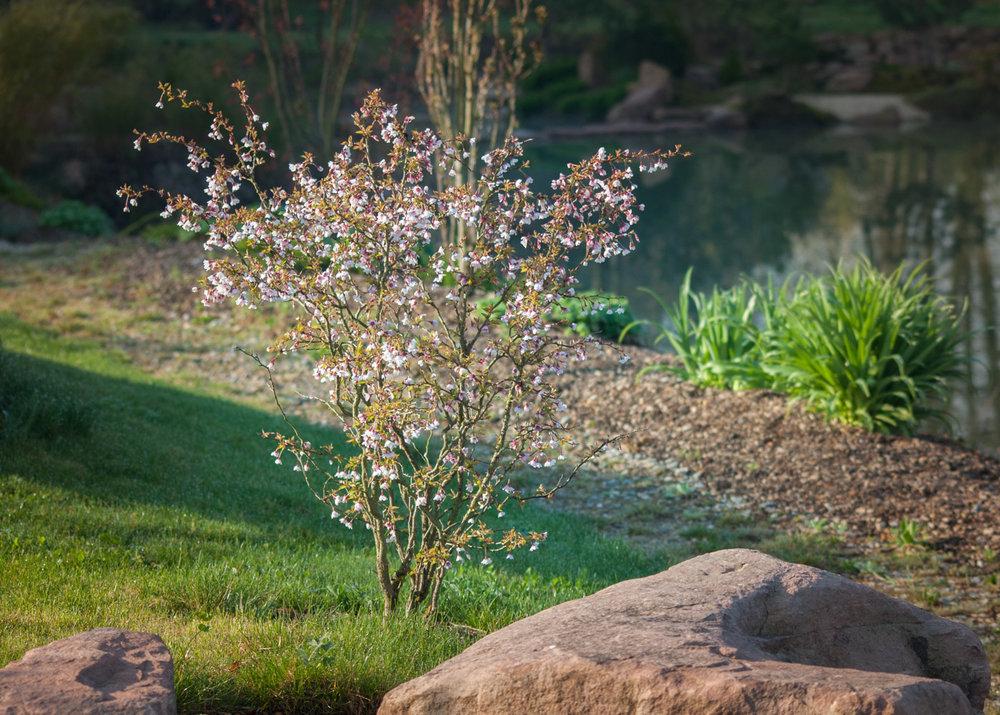 cerisier à fleurs-2.jpg