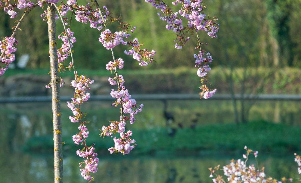cerisier à fleurs.jpg