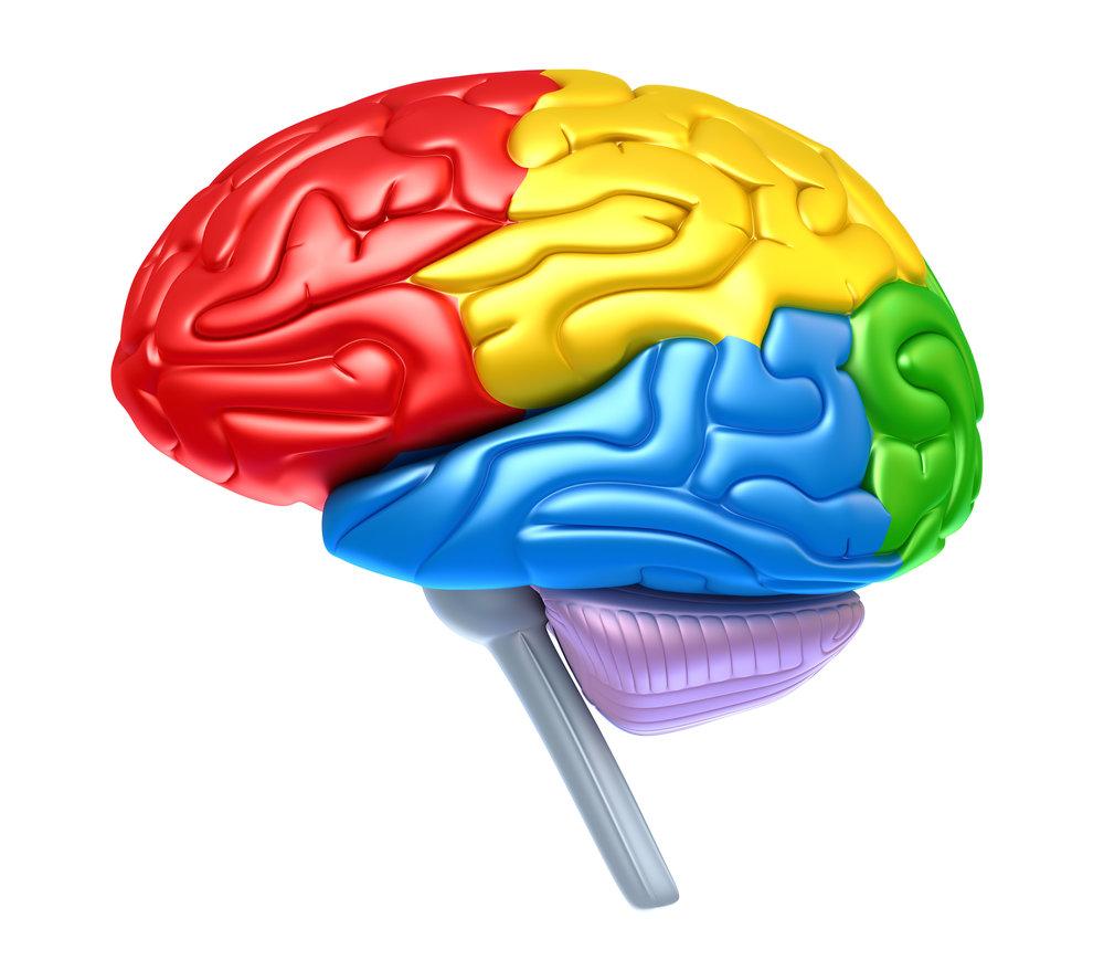 Download Quickie Brain Function Diagram Lovius Educational