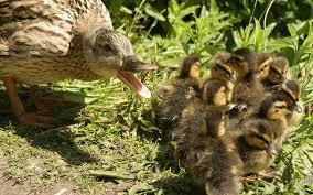 MOther duck.jpg