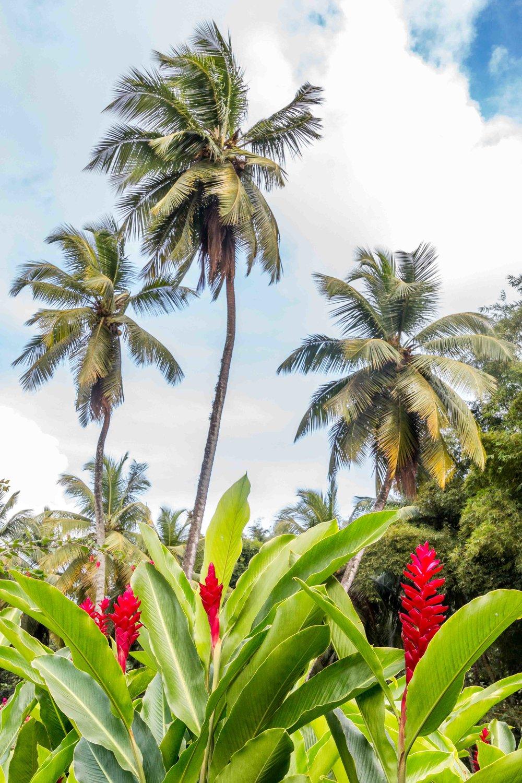 Martinique, Habitation Saint-Etienne, HSE : cocotier et alpinias