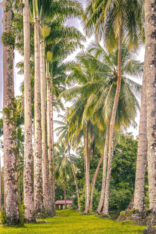 Martinique, Habitation Saint-Etienne, HSE : allée de palmiers royaux